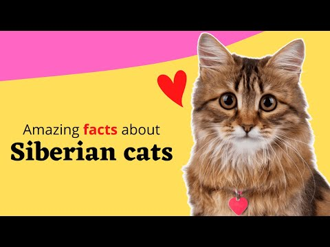 Top 20 Amazing Facts About Siberian Cats