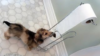 daphne-the-cute-dachshund-puppy-loves-toilet-paper