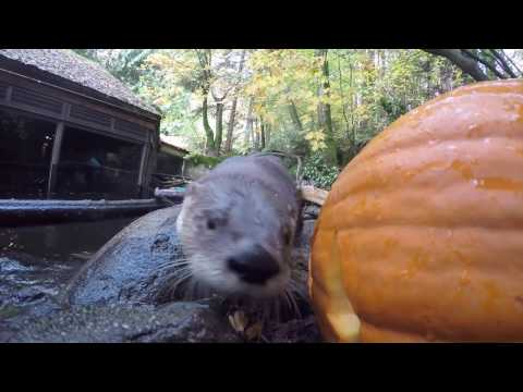 Otters, giraffes and black bears vs. pumpkins