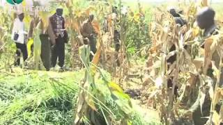 Migori Governor Sounds Warning To Bhang Farmers