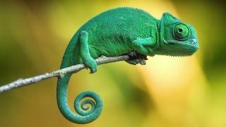 ► Хамелеон быстро меняет окрас под цвет очков! Классное видео