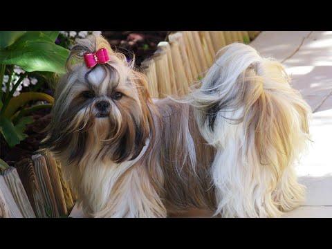 SHOWLINE Shitzu Puppies (Show Quality) Champion Lines . TOP Shih Tzu Pups for Sale. BEST EVER