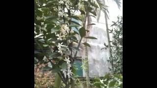 Hoa quat va ong den