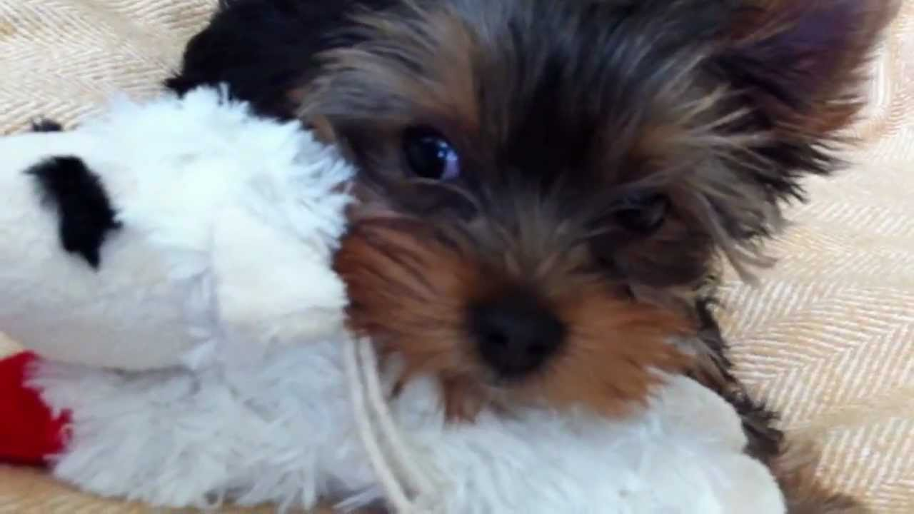Cora Yorkie Pup At 12 Weeks Old Youtube