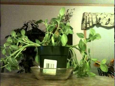 Viagra plant