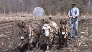 Heritage Grains at Anarchy Acres with Charlie Tennessen and Donkey Power