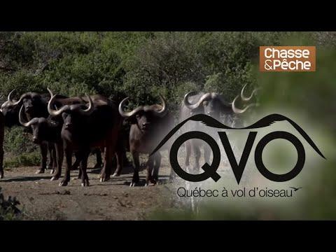 Chasse du dangereux cape buffalo à la Pourvoirie Majeje Africa Safari - QVO saison 8