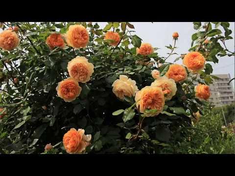Приглашаем на цветение роз! МИР УВЛЕЧЕНИЙ