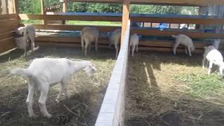 #зааненские козы