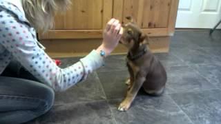 8 Week Old Australian Kelpie Tricks