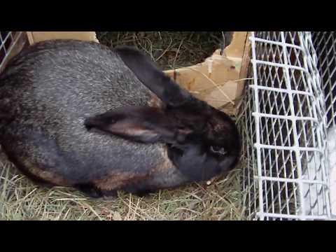 Ложная беременность у крольчихи.