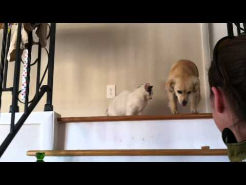 Cat teases dog for refusing to go down stairs