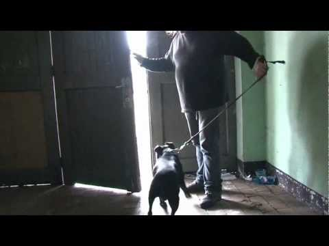 Black American Pit Bull Terrier - The Factory