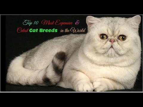 Top 10  Most Expensive and Cutest Cat Breeds in the World