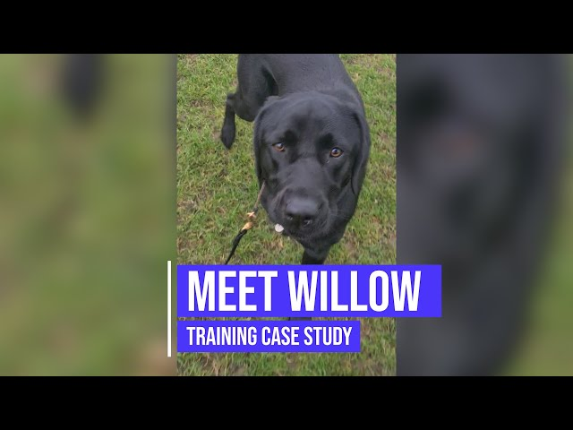 Recall and obedience training for a Labrador