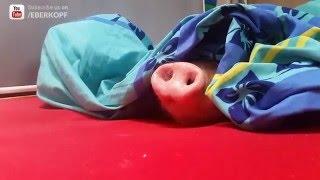 Pig vs Cookie / Schwein Smarty futtert einen Keks