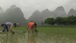 Growing Rice - Jiuxiancun, China