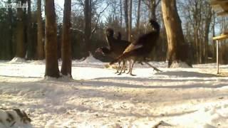 Around And Around The Turkeys Go
