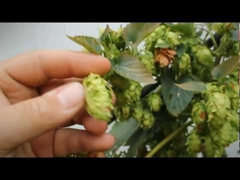 When to Harvest your Hops - BobbyfromNJ