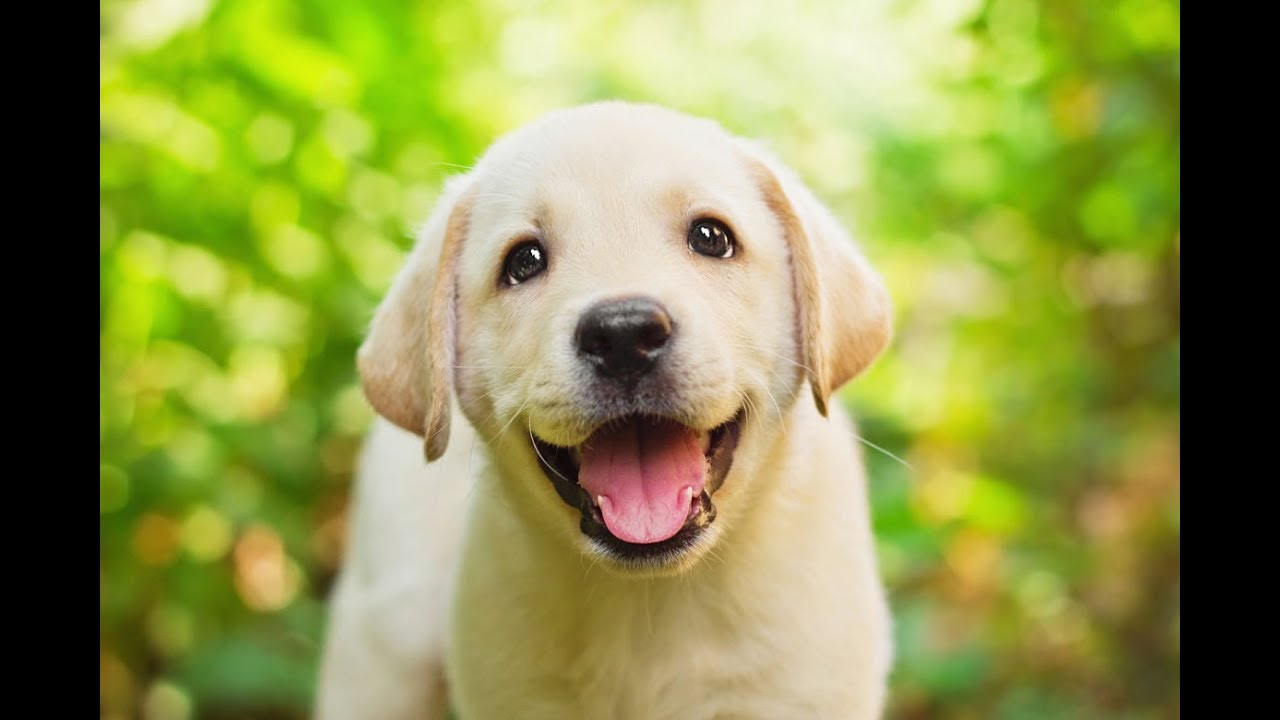Cute Labrador Puppies - YouTube for Cute Lab Dog Puppy  55dqh