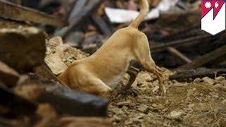 Собаки-спасатели приходят на помощь пострадавшим в Непале