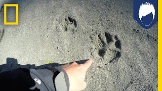 What's Special About a Wolf's Paw Print? | National Geographic