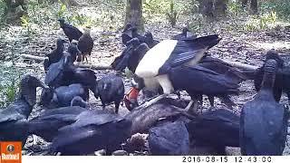 Cámaras trampa en Bolivia: cóndor blanco (Sarcoramphus papa) thumbnail