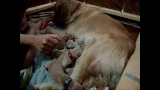 Golden Retriever Puppies: Giving Birth To Beautiful Litter, Delivered May 12, 2012!!!
