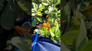 Lola. Where's the cat? Lola 'in the jungle'. Podenco Ibicenco. Ibizan Hound.
