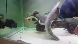 Redtail catfish eats silver arowana