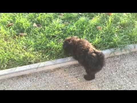 8 weeks old pumi male puppy for sale