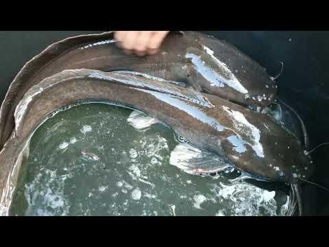 Cara Mudah Memilih Induk Lele Yang Siap Pijah Pembenihan Ikan Lele Secara Alami Youtube