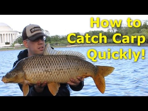 How to catch carp quickly