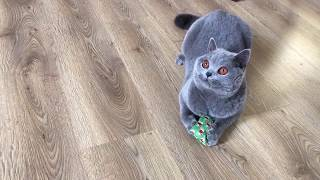 Better than Catnip: British Shorthair discovers Valerian!