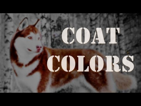 Coat Colors | Siberian Husky