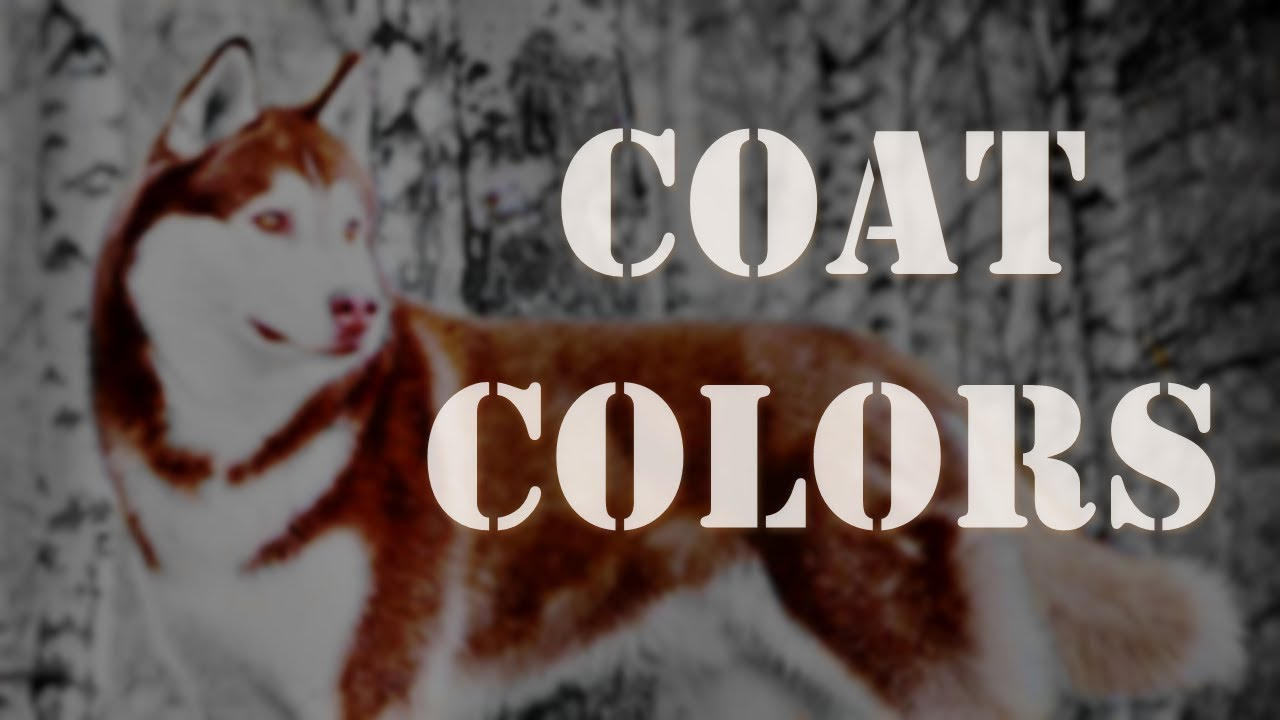 Coat Colors Siberian Husky Youtube
