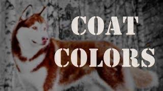 Coat Colors | Siberian Husky