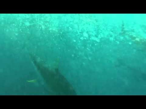 Panama - Underwater Tuna Frenzy! - YouTube.flv