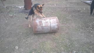 Naughty Dog / Игривый щенок
