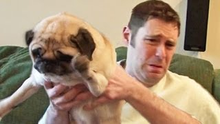 Pug Poops On Owner