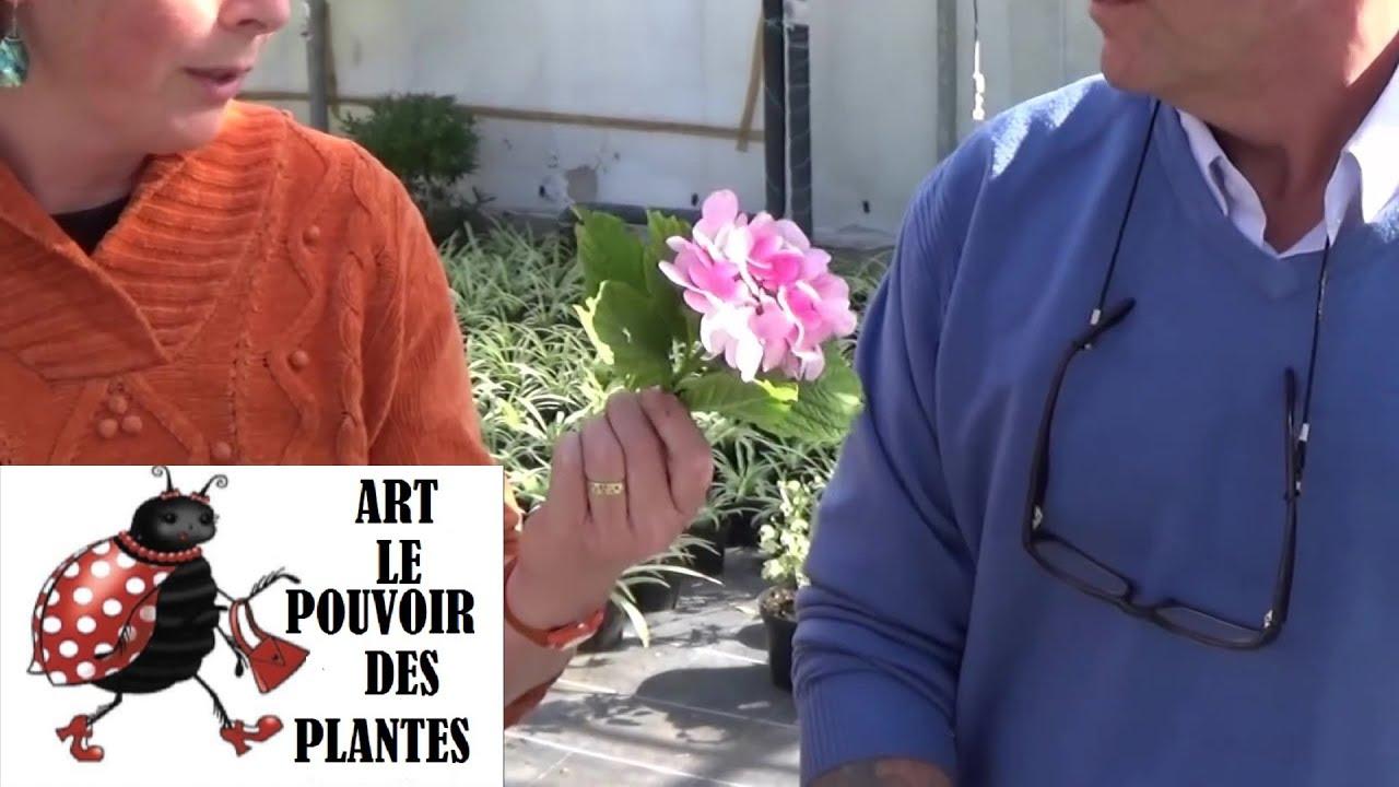 Chaine tv de jardinage comment bouturer un hortensia hy doovi - Comment bouturer un hortensia ...