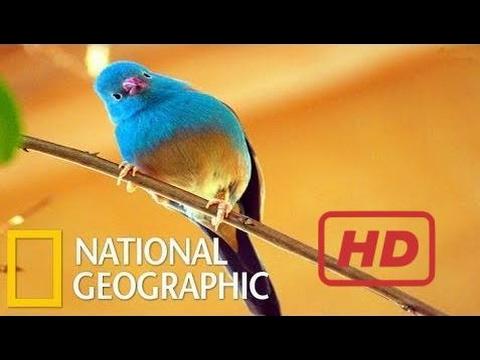 Documentary Birds Humming Beautiful Birds 2015 - National Geographic ( Youtube )