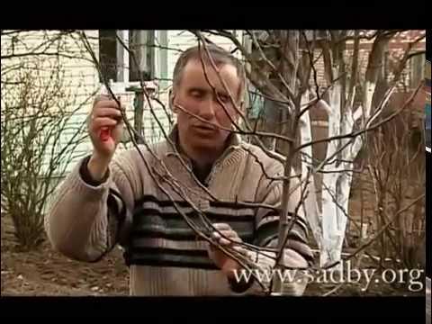 Груша: Правильная обрезка в саду || Обрезка деревьев своими руками