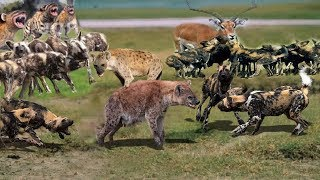 OMG! Hyena surrender  because the power of wild dogs is too big! Epical Battle of hyena and wild dog