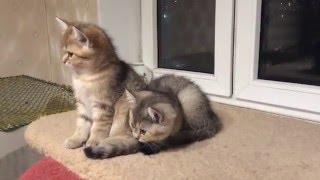 Продажа золотых котят не клеточного содержания - девочки и мальчика