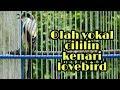 Burung Cendet Muda Olah Materi Cililin Kenari Lovebird  Mp3 - Mp4 Download