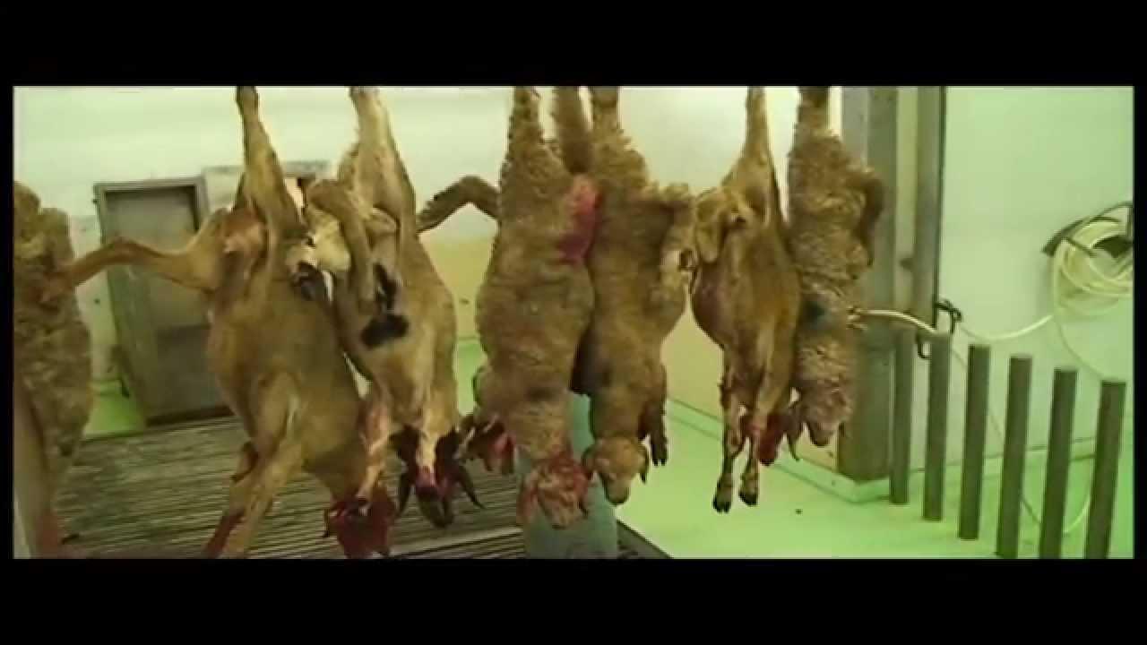 Slaughterhouse Sheep Line - YouTube for Lamb Slaughterhouse  53kxo