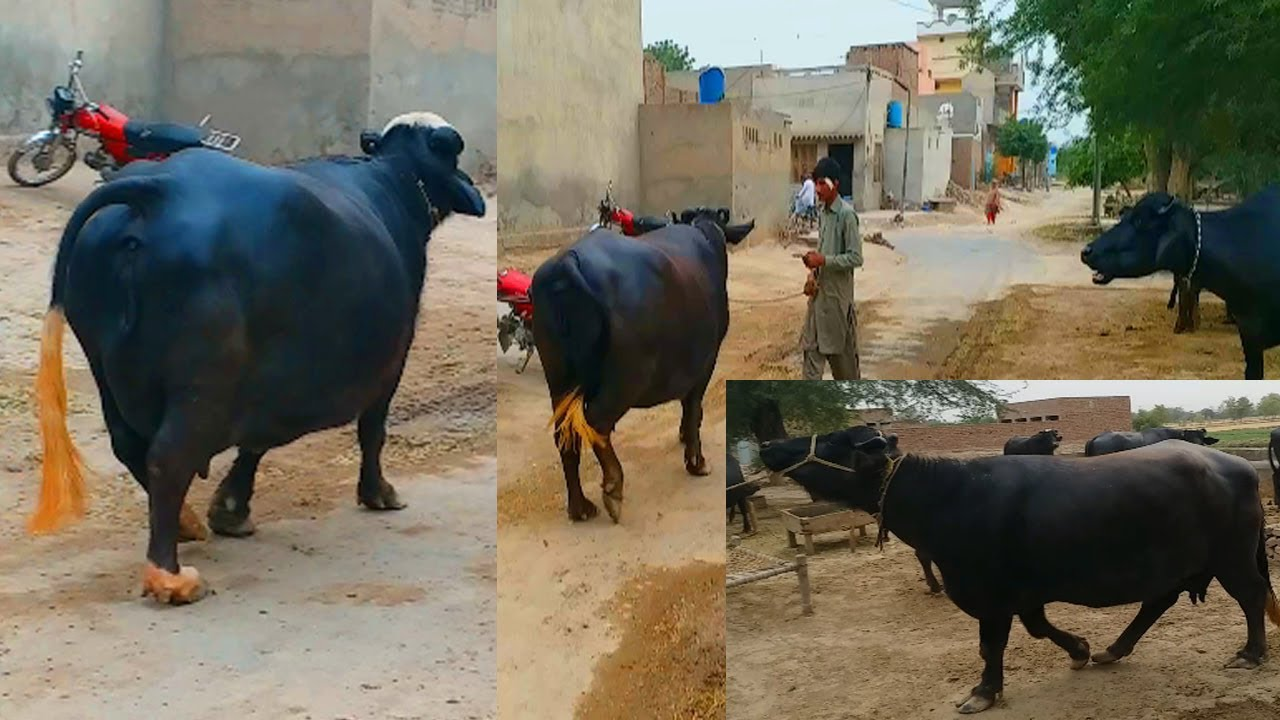 Excellent beautiful nili ravi buffalo in pakistan Livestock 10
