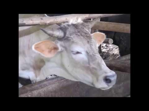 วัววากิวหนองคาย