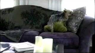 Funny furniture store commercial featuring a tiny dog getting it on...